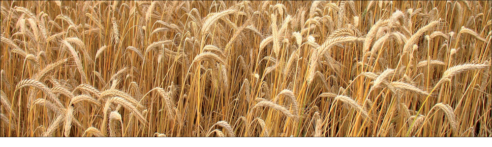 Migliorare la produttività e la qualità del grano in una sola mossa?