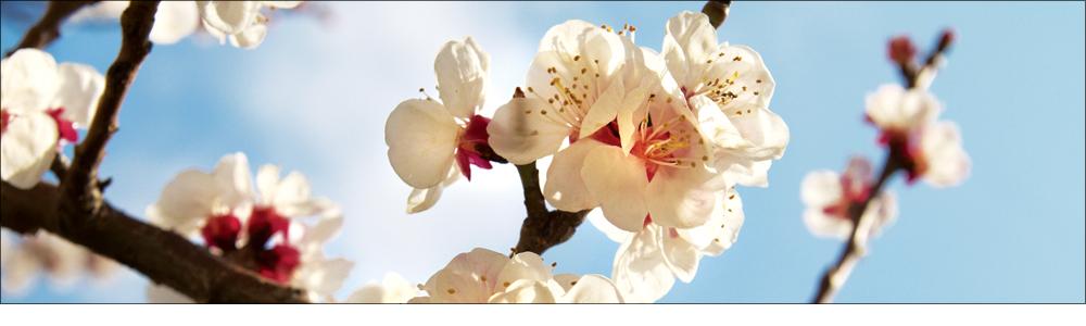 Disformità di fioritura di pomacee e drupacee?