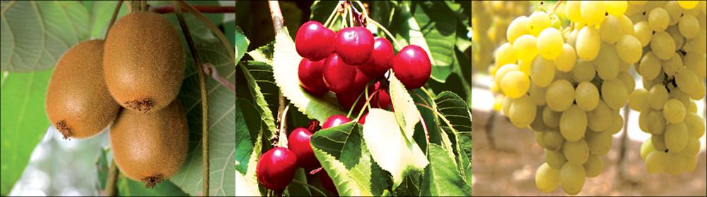 BLUPRINS<sup>®</sup>: maggiore differenziazione dei grappoli nell'uva da tavola, maggiore uniformità di germogliamento e fioritura in actinidia e ciliegio
