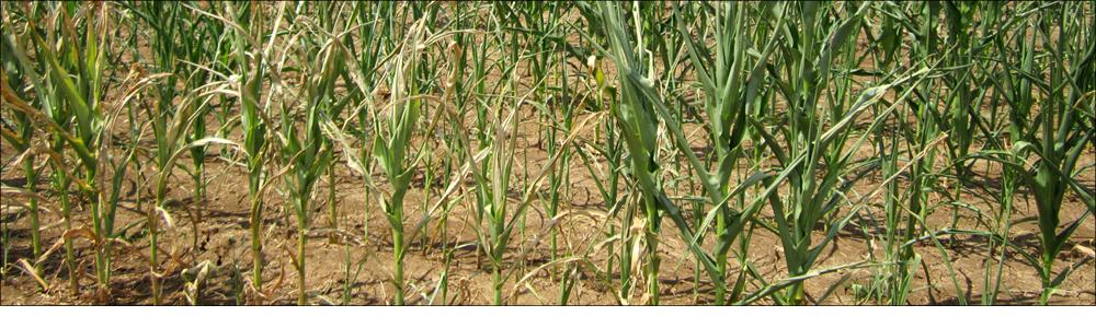 FYLLOTON contro i danni da freddo su mais
