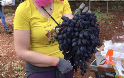 Uva da mensa: più calibro, consistenza, colore e sapore