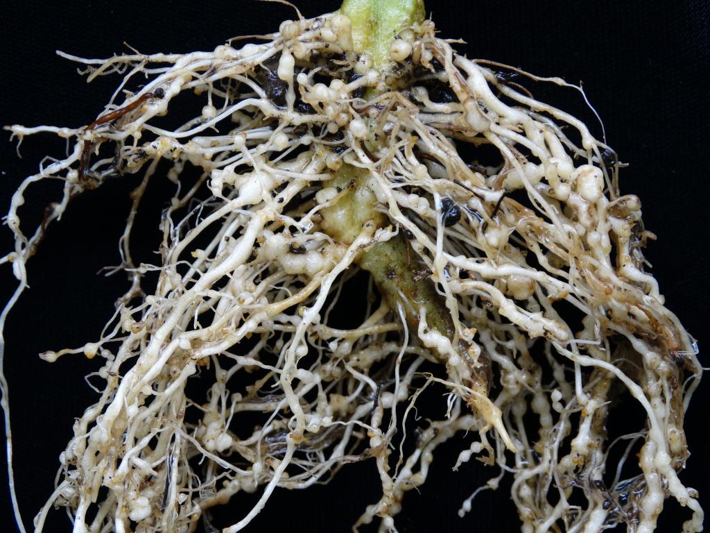 Radici capillari e palchi fruttiferi potenti